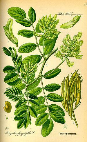 Illustration Astragalus glycyphyllos0.jpg