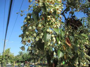 Brachichyton populneus G 1154.jpg