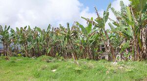 Plantación de platano.jpg